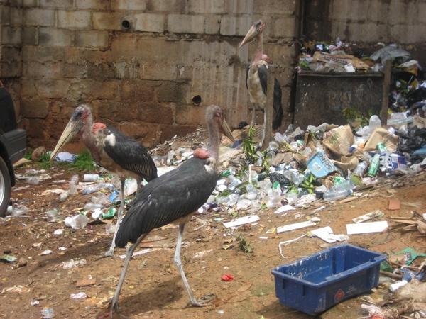 1.) Marabou Stork.