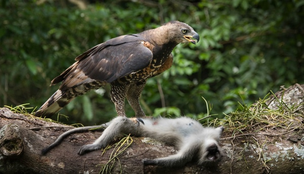 2.) African Crowned Eagle.