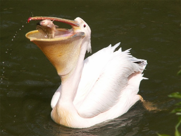 9.) Great White Pelican.