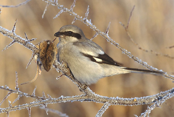 10.) Great Gray Shrike.