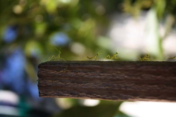 They may look cute, but even these tiny guys are ferocious insects. They look like little army guys heading into battle.