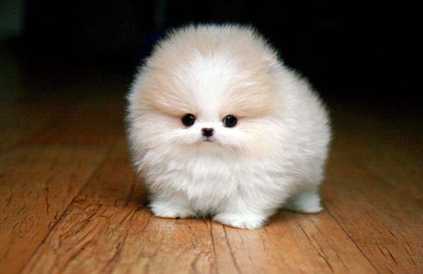 1.) This Pomeranian just killed my heart.