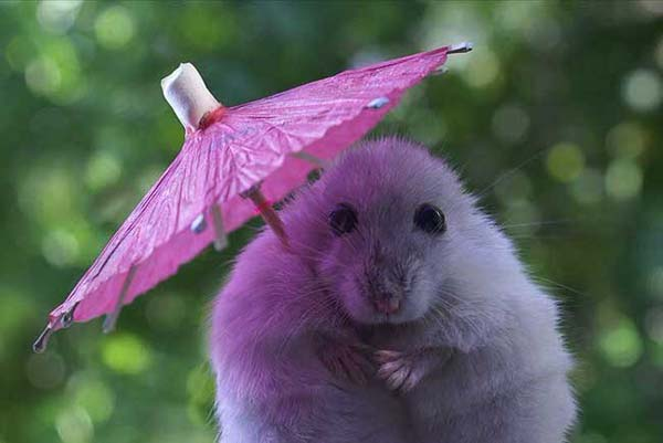 3.) Your tiny umbrella can't hide your cuteness, hamster.